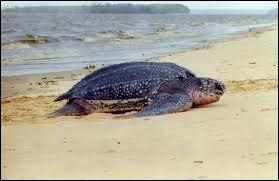Quelle est la plus grande tortue ?