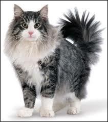 Quelle est la race de ce magnifique chat ? ( à mon goût )