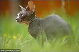 Quelle est la race de ce chat nu ?