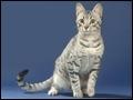 Quelle est la race de ce chat qui a été fidèle à nos ancêtres ?
