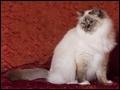 Quelle est la race de ce chat à poils longs ?