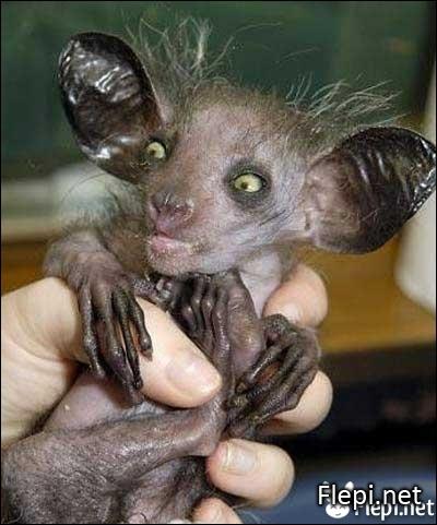 Quel est ce primate de Madagascar, lémurien aux incisives de rongeur, aux oreilles de chauve-souris et à la queue d'écureuil ?