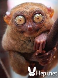 Quel est cet animal nocturne qui se déplace en sautant et qui vit en Asie et en Océanie ?
