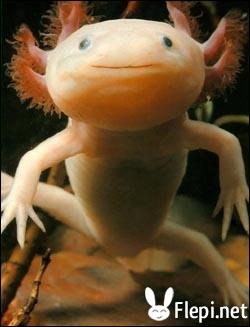 Qu'est-ce que l'axolotl ?