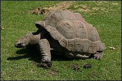 C'est la tortue géante des Galapagos, combien d'années peut-elle vivre ?
