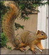 Quel est le nom de cet étrange écureuil à queue voluptueuse ?