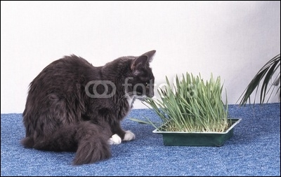 Pourquoi l'herbe est-elle bonne pour les chats ?