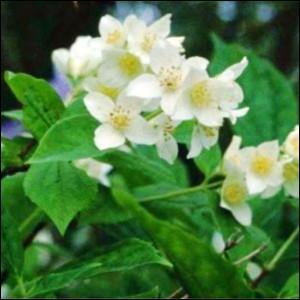 Quizz les arbustes d coratifs de nos jardins quiz arbres jardins - Arbuste fleurs blanches odorantes ...