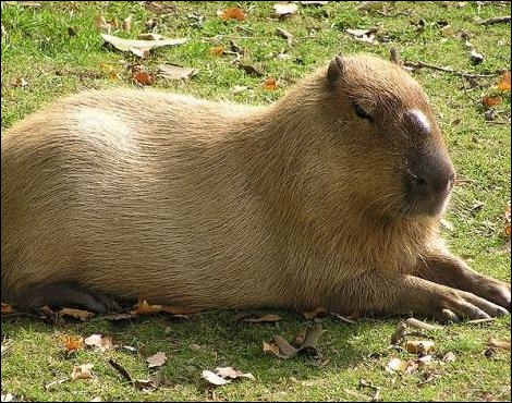 Gros animal d'Amérique du Sud, il passe son temps à ...