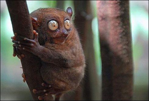 Ce primate, le tarsier, se nourrit essentiellement ...