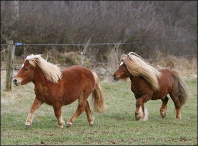 D'où sont originaires ces poneys ?