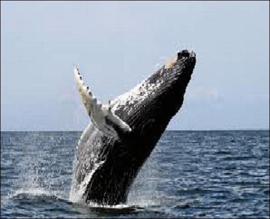 Quelle est la taille moyenne d'un pénis de baleine bleue (mâle évidemment) ?