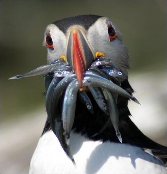 De quelle espèce cet oiseau marin gourmand est-il un représentant ?