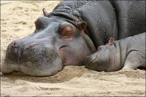 L'hippopotame est vulnérable à la chaleur car il ne peut pas transpirer.