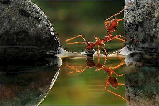 Comment la fourmi de feu, une espèce agressive originaire d'Amérique du Sud, est-elle entrain de  conquérir  le monde malgré les efforts de l'homme pour contrer son expansion ?