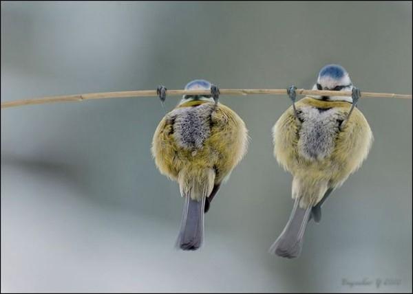 De quelle espèce sont ces oiseaux acrobates ?
