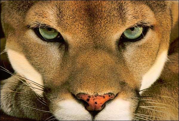 Quel félidé solitaire est appelé cougar (ou couguar) dans certaines régions ?