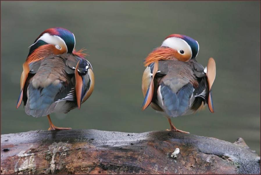 De quelle espèce sont ces canards très colorés ?