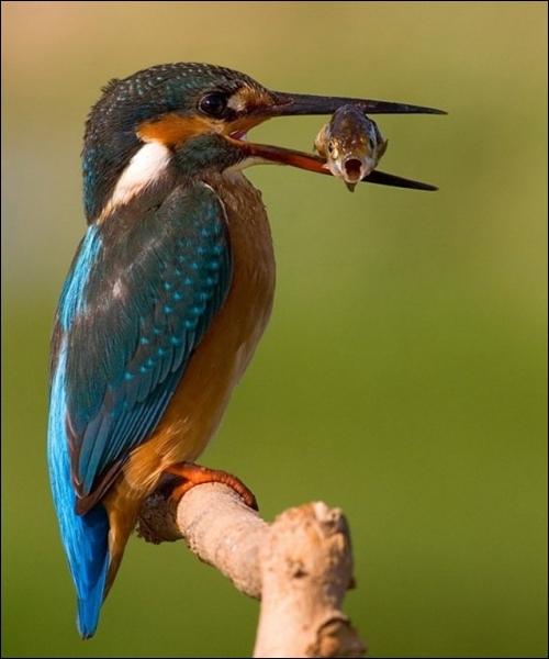Quel oiseau est un bon indicateur naturel de la qualité d'un milieu aquatique ?