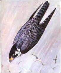 Quel est cet oiseau en piqué ?