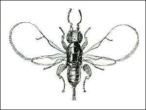 De quelle plante le blastophage est-il l'insecte pollinisateur ?
