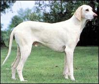 Ce chien haut sur pattes est un ...