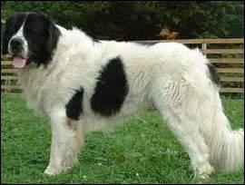 Ce chien noir et blanc est un ...