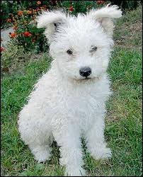 Ce petit chien blanc s'appelle un ...