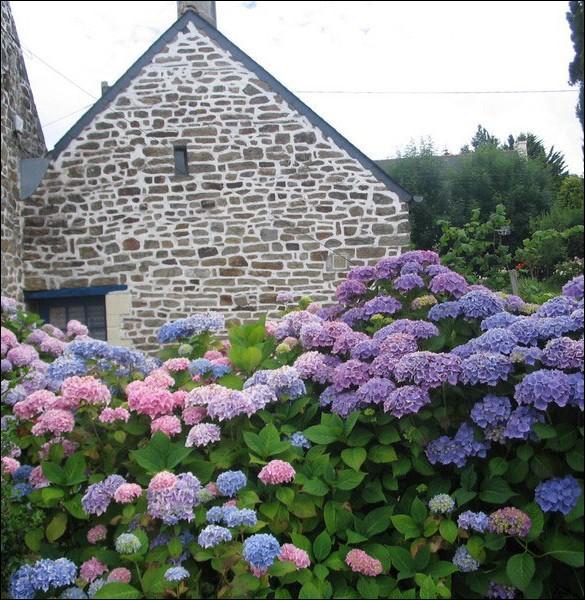 Fleur indissociable à la Bretagne, elle se décline en rose, en blanc et surtout en bleue dans cette contrée... .