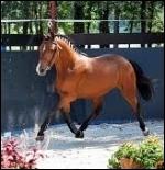 Quelle est la race de ce poney venant d'Angleterre ?
