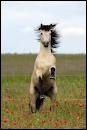 Quelle est la robe de ce cheval qui se cabre ?