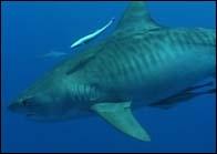 Quelle est la particularité du requin tigre ?