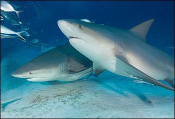 Quel est le nom de cette espèce de requin ?