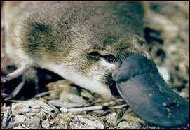 L'Ornithorynque est un mammifère.