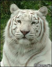 Le Tigre Blanc vient du Tigre de Sibérie.