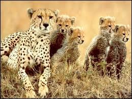 Cet animal est un léopard, magnifique photographie avec tous ses petits.