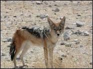 Ce chacal est un cousin du loup et fait partie de la famille des Canidés.
