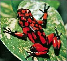 Cet amphibien est très coloré mais peut être mortel.