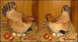 Sait-on depuis quand il est fait mention de la question que tout le monde se pose : ' de l'oeuf ou de la poule qui est apparu en premier ' ?