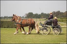 Quel cheval est utilisé pour l'attelage, grâce à sa carrure et à sa puissance ?