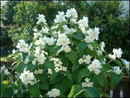 Quizz l 39 orthographe des arbustes et arbrisseaux fleurs en images quiz - Arbuste a petites fleurs blanches ...