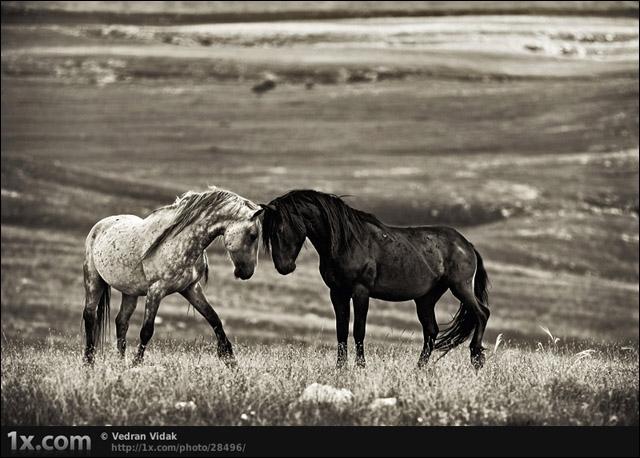 Dans ce film de Robert Redford, il murmurait à l'oreille des chevaux !
