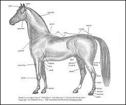 A quel ordre et à quelle famille d'animaux le cheval appartient-il ?