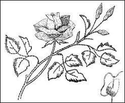 Veuillez décliner le mot latin  Rosa  (la rose) à l'accusatif.
