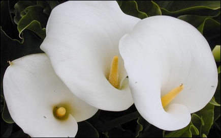 Ces fleurs blanches sont des ...