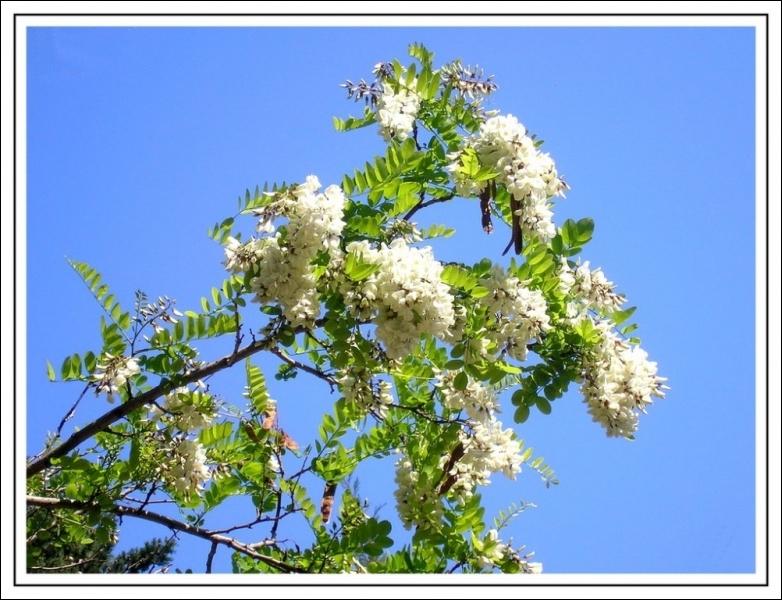 Avec les fleurs de cet arbre, on fait des beignets, c'est un ...