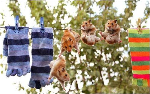 Où peut-on trouver le hamster à l'état sauvage ?
