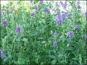 On emploie la luzerne ou alfalfa en homéopathie pour traiter la fatigue physique et intellectuelle.