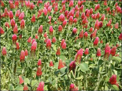 On l'appelle aussi le trèfle du Roussillon. Autrefois, il était cultivé pour les bovins et les chevaux. Au fur et à mesure du mûrissement, la fleur pâlit.