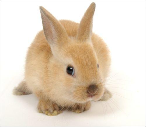 Les lapins sont-ils des rongeurs ?